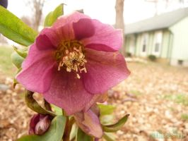Lenten rose by cerulean88