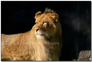 King of Beasts by LoneWolfPhotography