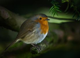 Robin 09 by NellyGraceNG