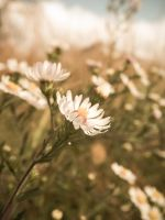 vintage daisy by barefootphotos