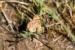 Kleine Perlmutterfalter/Queen of Spain fritillary2 by bluesgrass