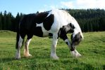 gypsy vanner 02. by greenleaf-stock