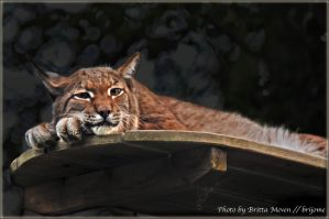 Tired Lynx 1 by brijome