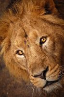 Lion Face by amrodel