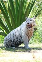 White tiger 1 by AngiWallace