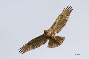 Red Tailed Hawk by Grouper