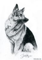 German Shepherd by Lillidan86 by dogs