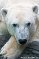 Polar Bear Portrait by amrodel