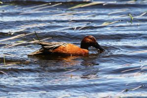 Male Cinnamon Teal Duck by Shadow848327