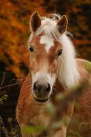 Haflinger in Autumn by NGSabrina