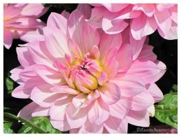 Pink chrysanthemum - updated by Liuanta