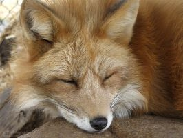 Red Fox 553 by caybeach
