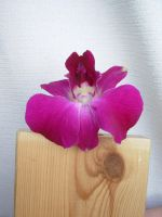 Orchid 2 by bean-stock