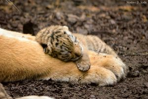 Half day old Amur tiger baby by SosiNonoo