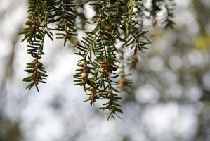 Yew flowers in spring by Solankii