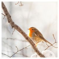 Shyly Robin by XanaduPhotography