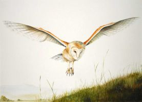 Barn Owl - Arran by Atriedes
