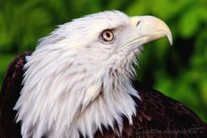 The Eagle by Sagittor