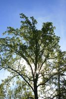 Tree Top by dlc-nature-stock