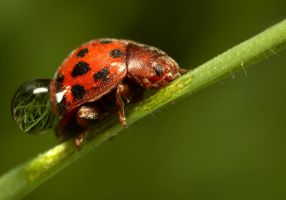 Ladybird with a rain drop by Alliec
