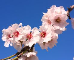 Almond Flowers 1_1 by ximocampo