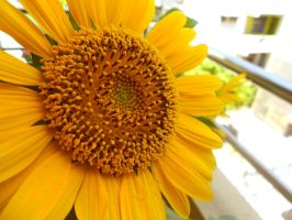 SunFlower by nadzie