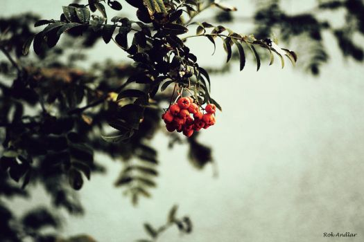 berries of the fall by rok993