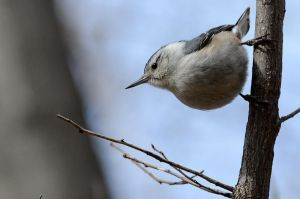 White-breasted Nuthatch (male) by GuillaumGibault
