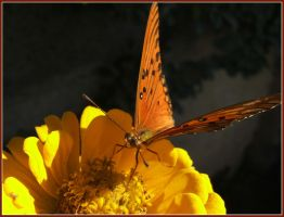 A patagonian butterfly by mirator