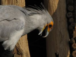 Secretary bird 09 by animalphotos