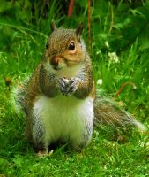 Grey Squirrel by WickedWelshy