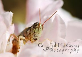 Grasshopper in Rose by Crystalsm