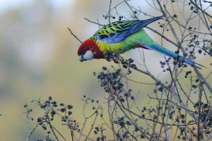 Eastern Rosella 4 by mfunnell