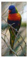Lorikeet by The-name1ess