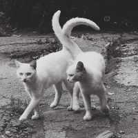 Two white cats by virasmolyar