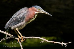 Green Heron by lost-nomad07