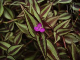Creeping Spiderwort Flower by Pentacle5