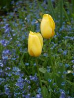 Tulips and Forget-Me-Nots 01 by botanystock