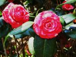 Camellia by KDMB