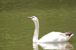 Swan 2 by VBeaudryPhotography