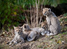 International Cheetah day 2012 by mym8rick