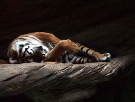 Lazy tiger by Rosselanor