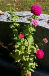 Neon Pink Zinnias by BlueSolitaire