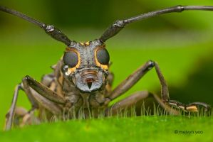 Long Horn Beetle by melvynyeo