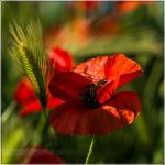 Coquelicot by songe