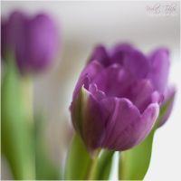 Violet Tulips by FeenoGraphie