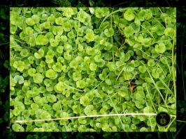 Kidney Weed Groundcover by Ranger-Roger-Reserve