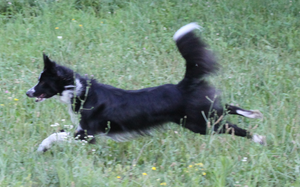 Border Collie leaping STOCK 12 by Miahii