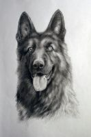 German shepherd by Mebridia