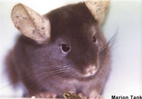 Chinchilla Close-UP by Villa-Chinchilla